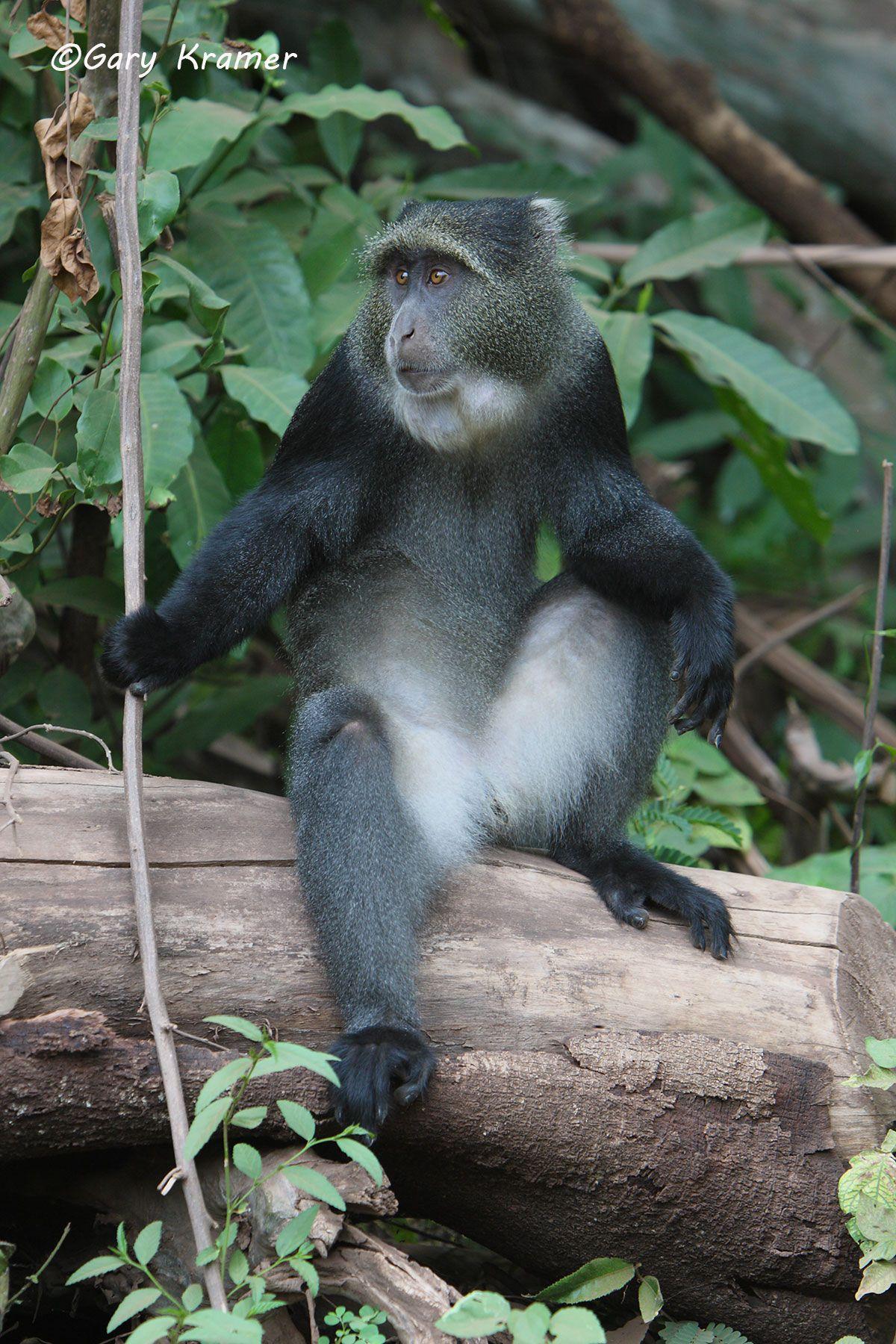Blue Monkey (Cercopithecus mitis) - AMMb#005d.jpg