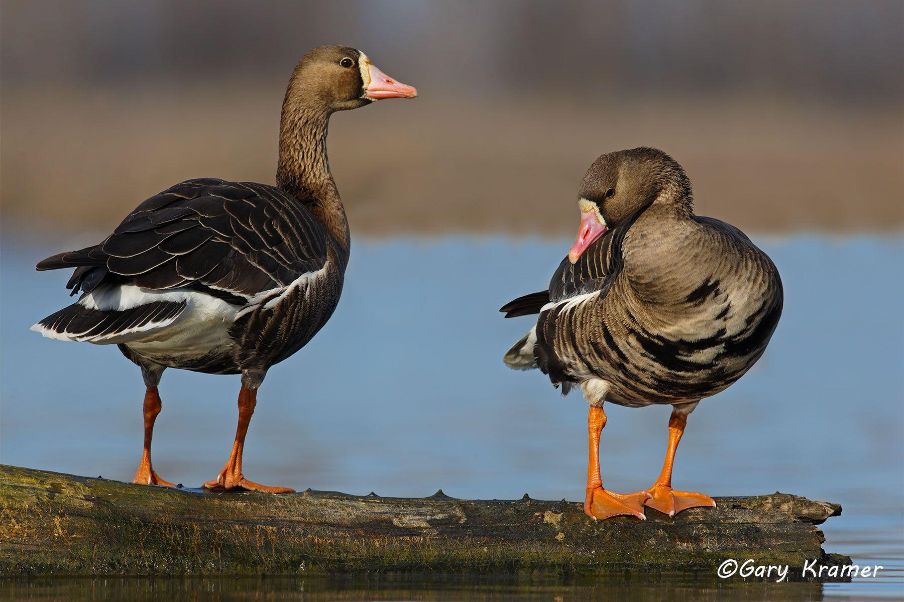 White-fronted Goose (Anser albifrons) - NBWWf#1886d