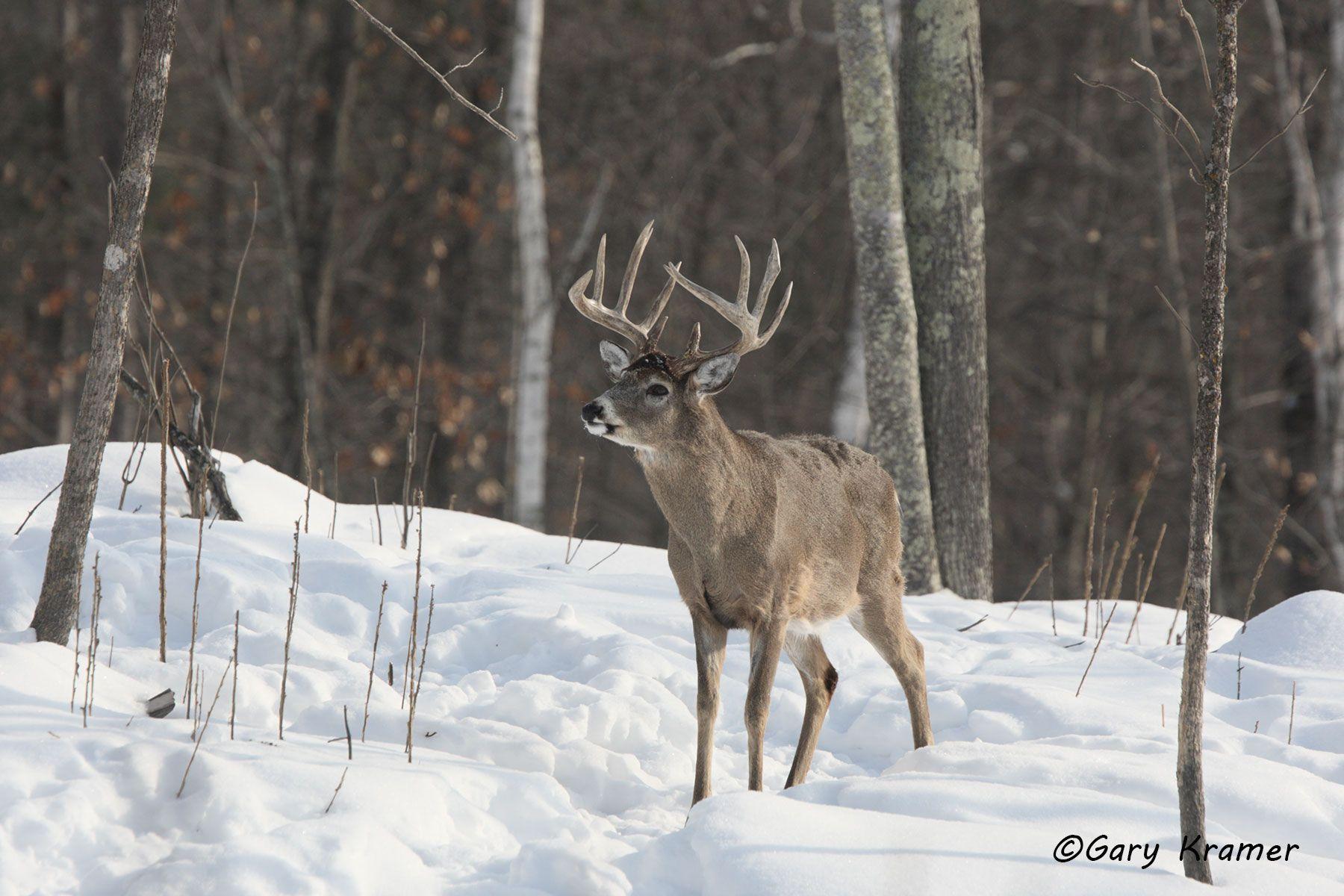 White-tailed Deer (Odocoileus virinianus) - NMDW#505d
