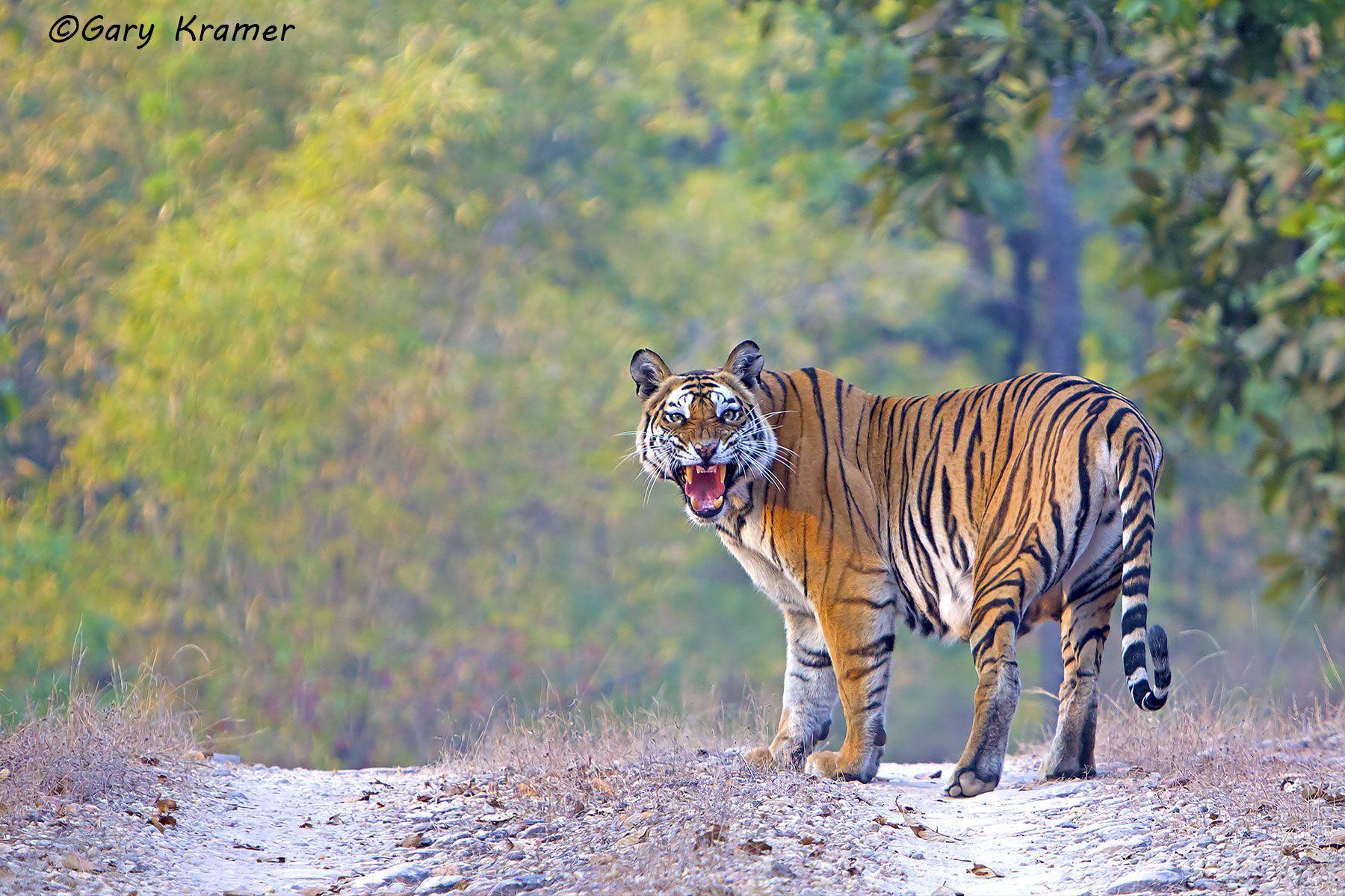 Tiger (Bengal) (Panthera tigrus tigrus) - AMTb#028d