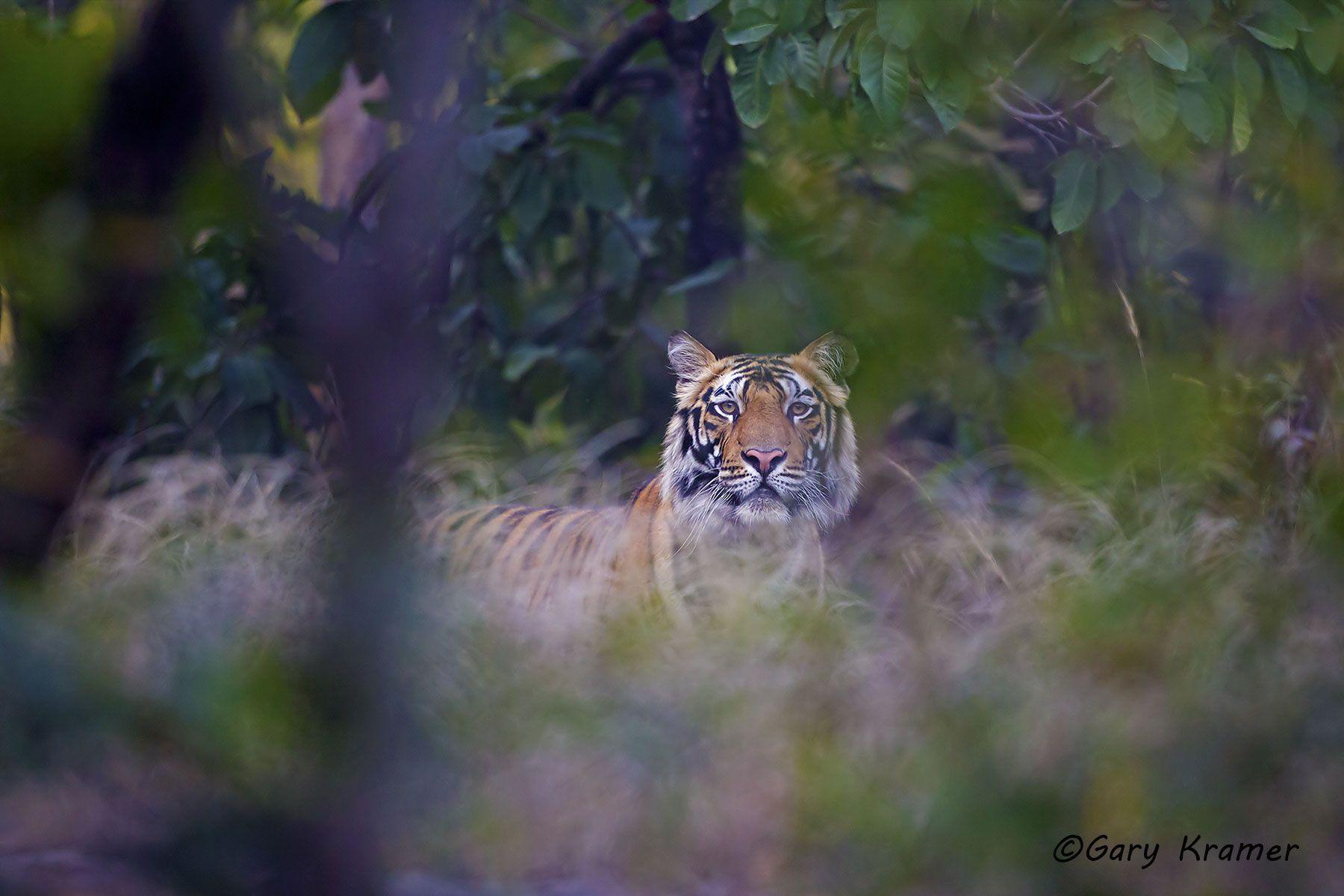 Tiger (Bengal) (Panthera tigrus tigrus) - AMTb#088d