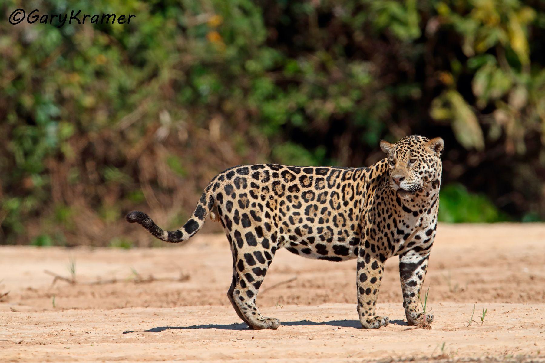 Jaguar (Puma onca) - SMJp#437d