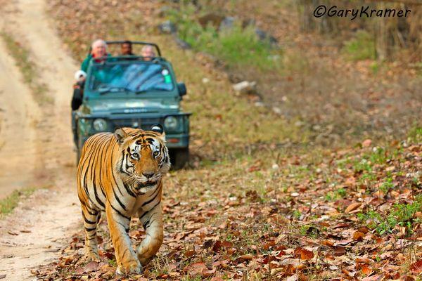 Tiger (Bengal) (Panthera tigrus tigrus) - AMTb#416d