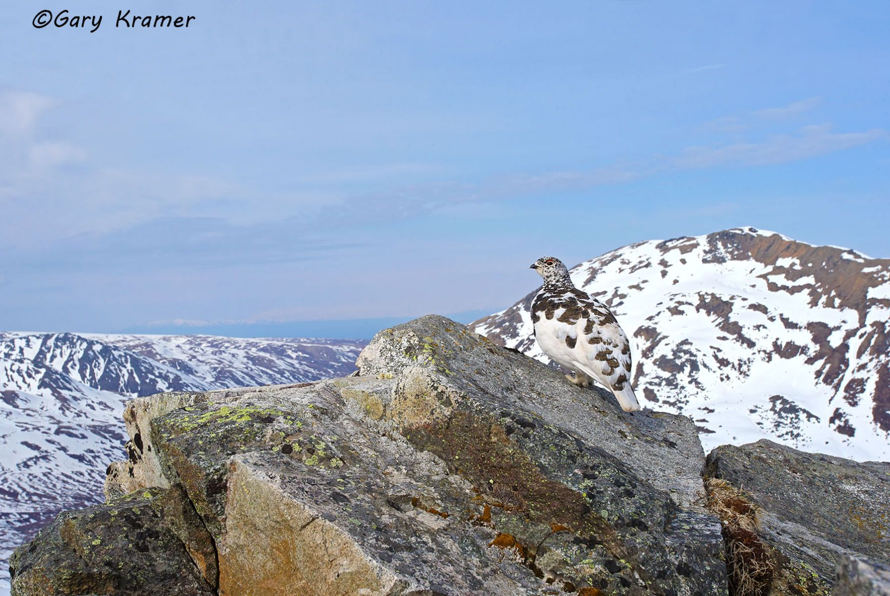 White-tailed Ptarmigan (spring) (Lagopus leucura) - NBGPts#119d