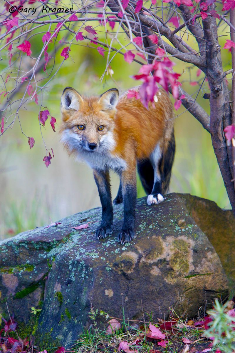 Red Fox (Vulpes fulva) - NMFr#265d