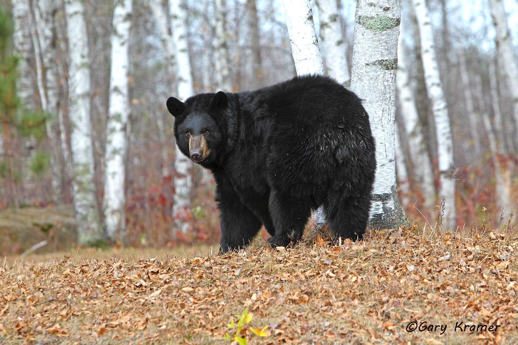 Black Bear (Urusus americanus) - NMBb#561d