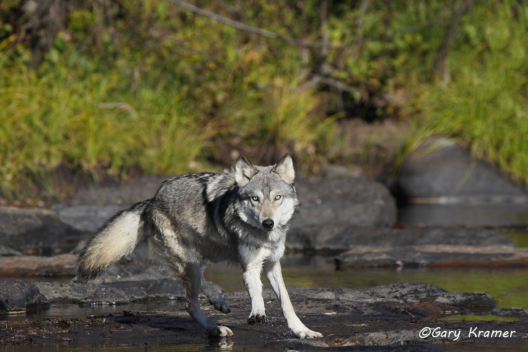Gray Wolf (Canis lupus) - NMWg#1688d