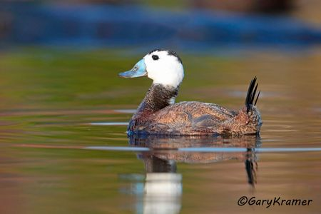 White-headed Duck (Oxyura ferruginea) - EBWWh#046d