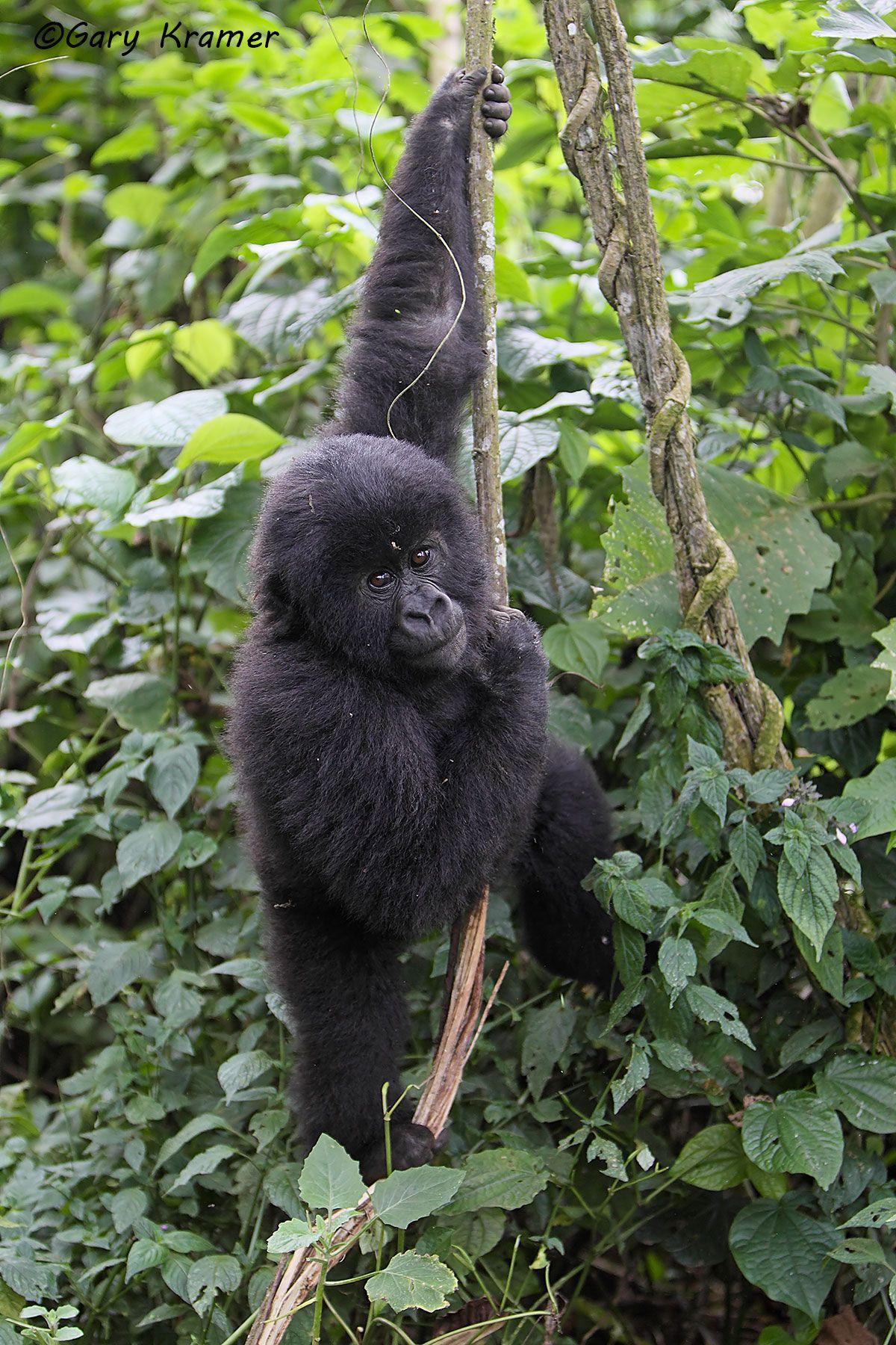 Mountain Gorilla (Gorilla gorilla beringei) - AMGg#164d