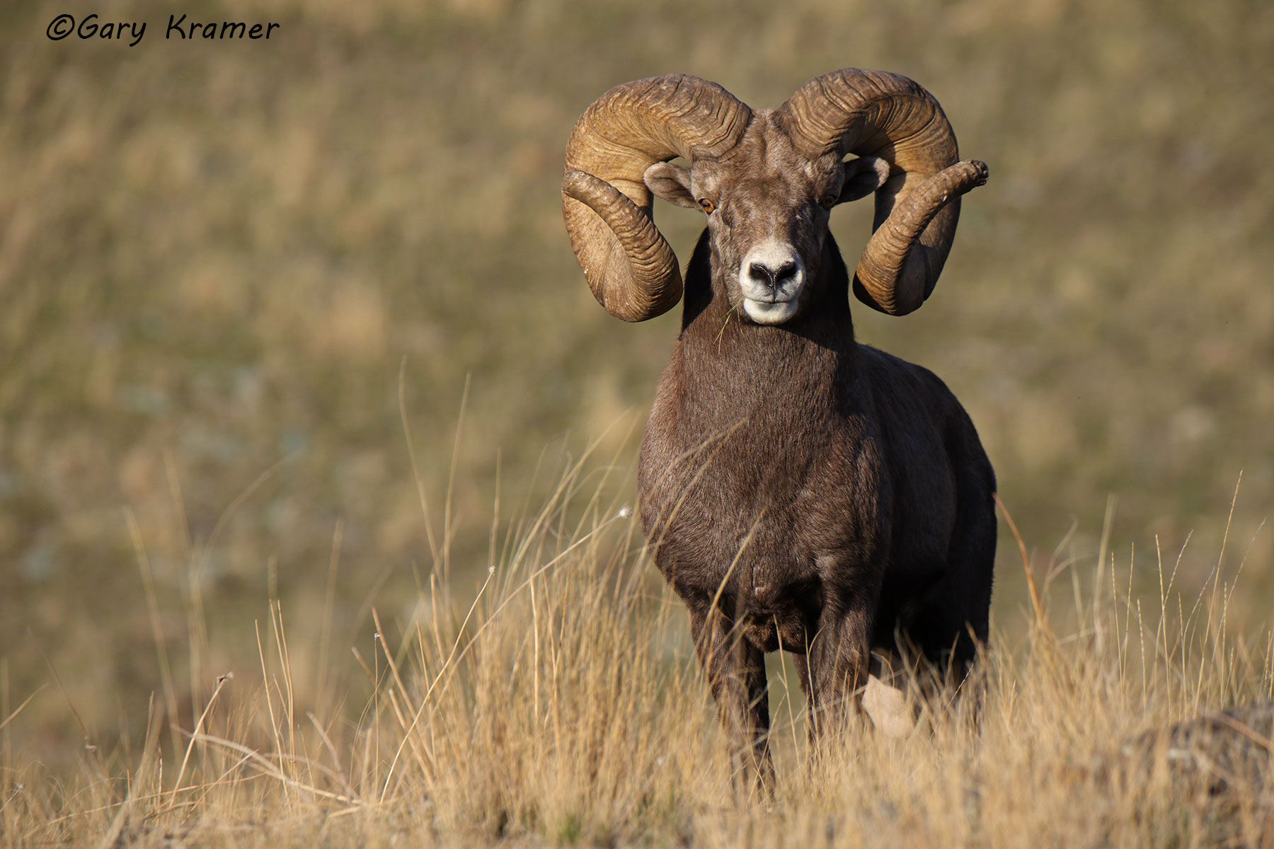 Rocky Mountain Bighorn (Ovis canadensis canadensis) - NMSBr#1615d