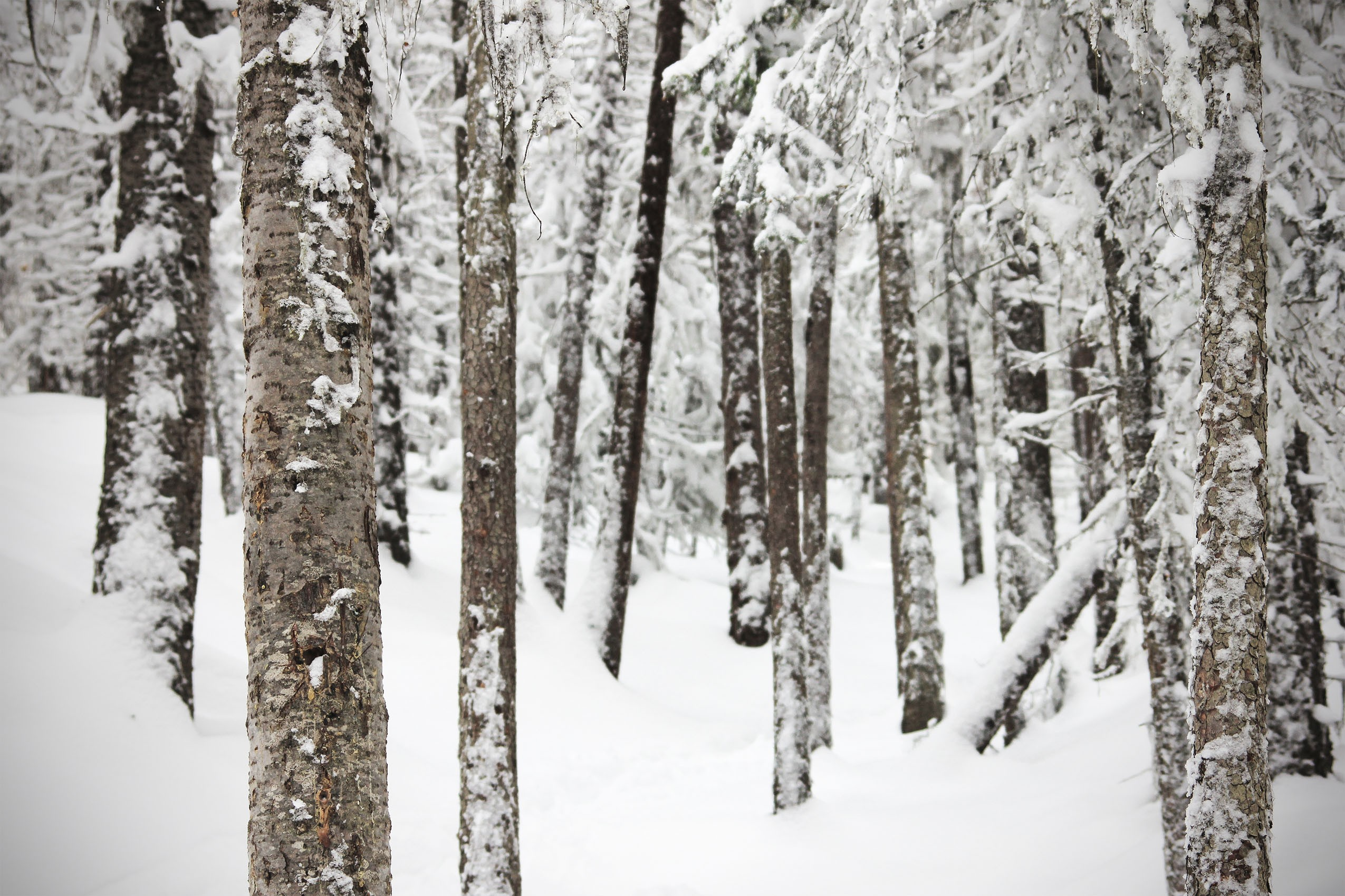 Snowy Forest 1