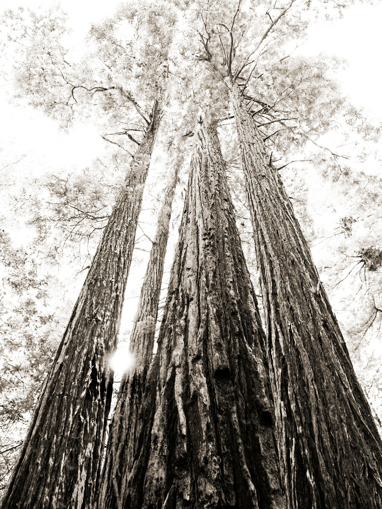 Old Growth 1