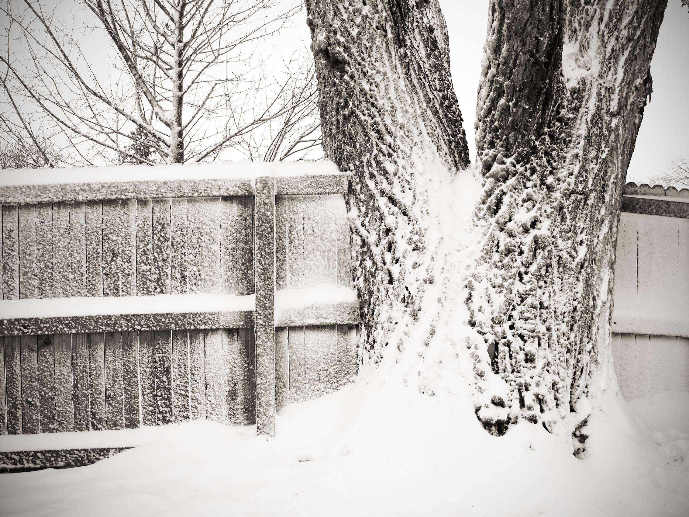 Snowy Elm and Fence