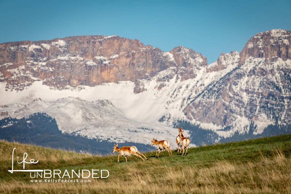 Antelope in the Rocky Mountains