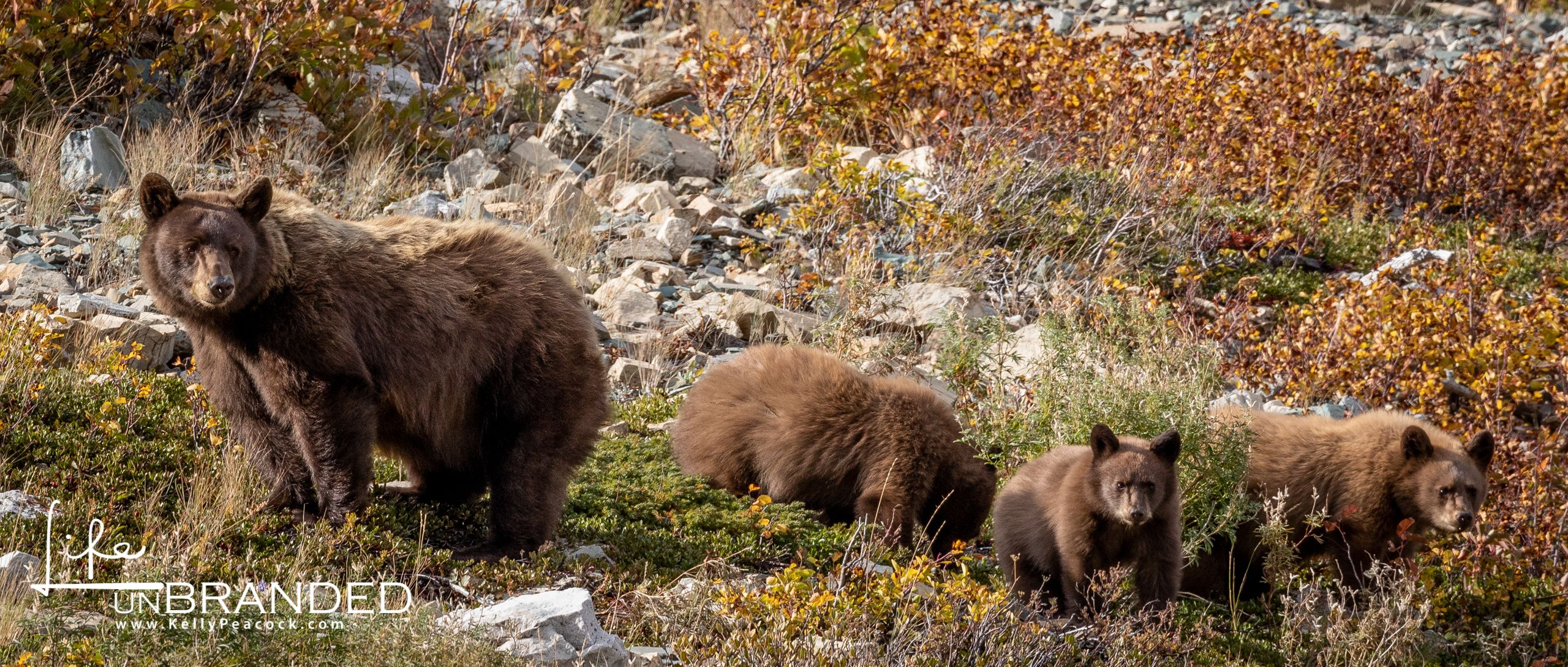 Black Bear sow and triplets