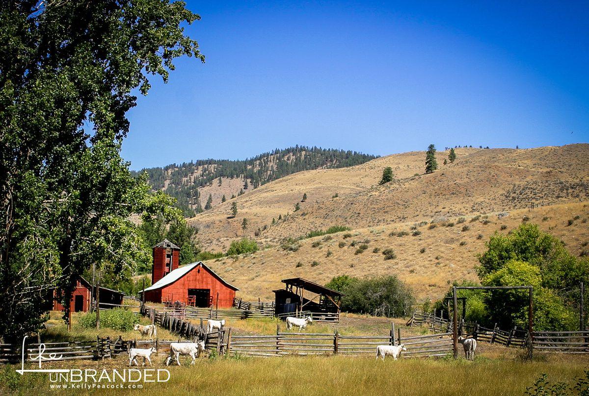 Red Barn_white cows-2.jpg