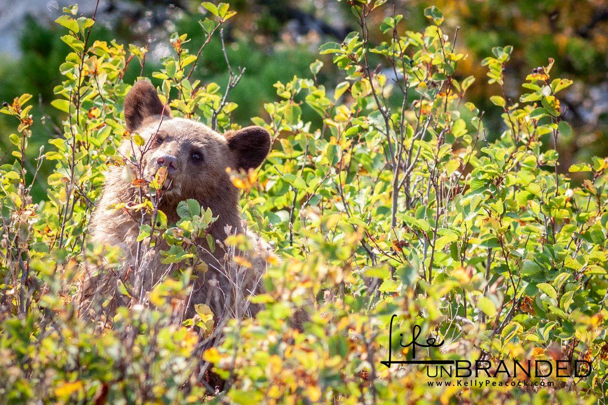"""Cinnamon"" Black Bear Cub"