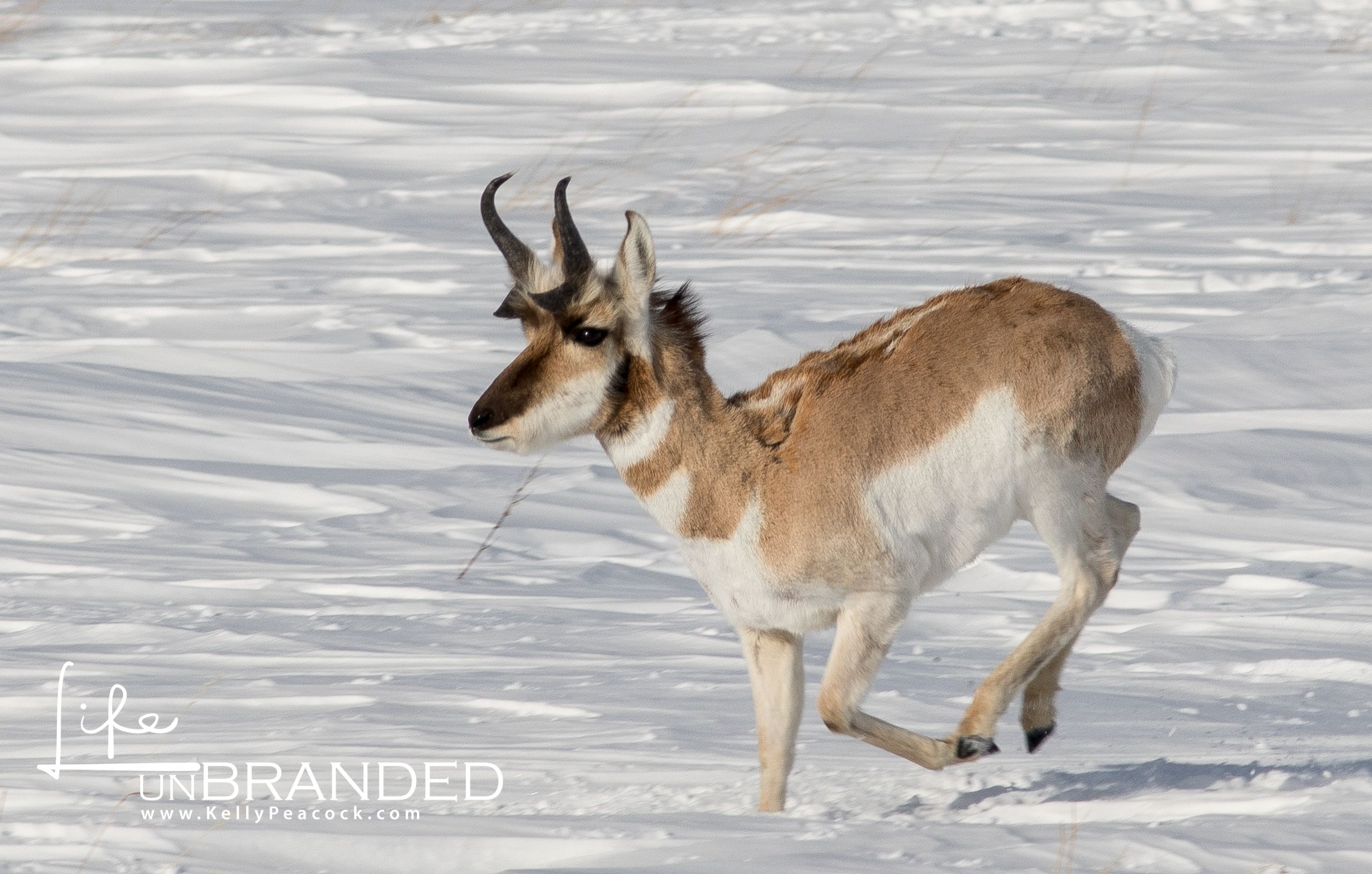 Antelope running in the snow