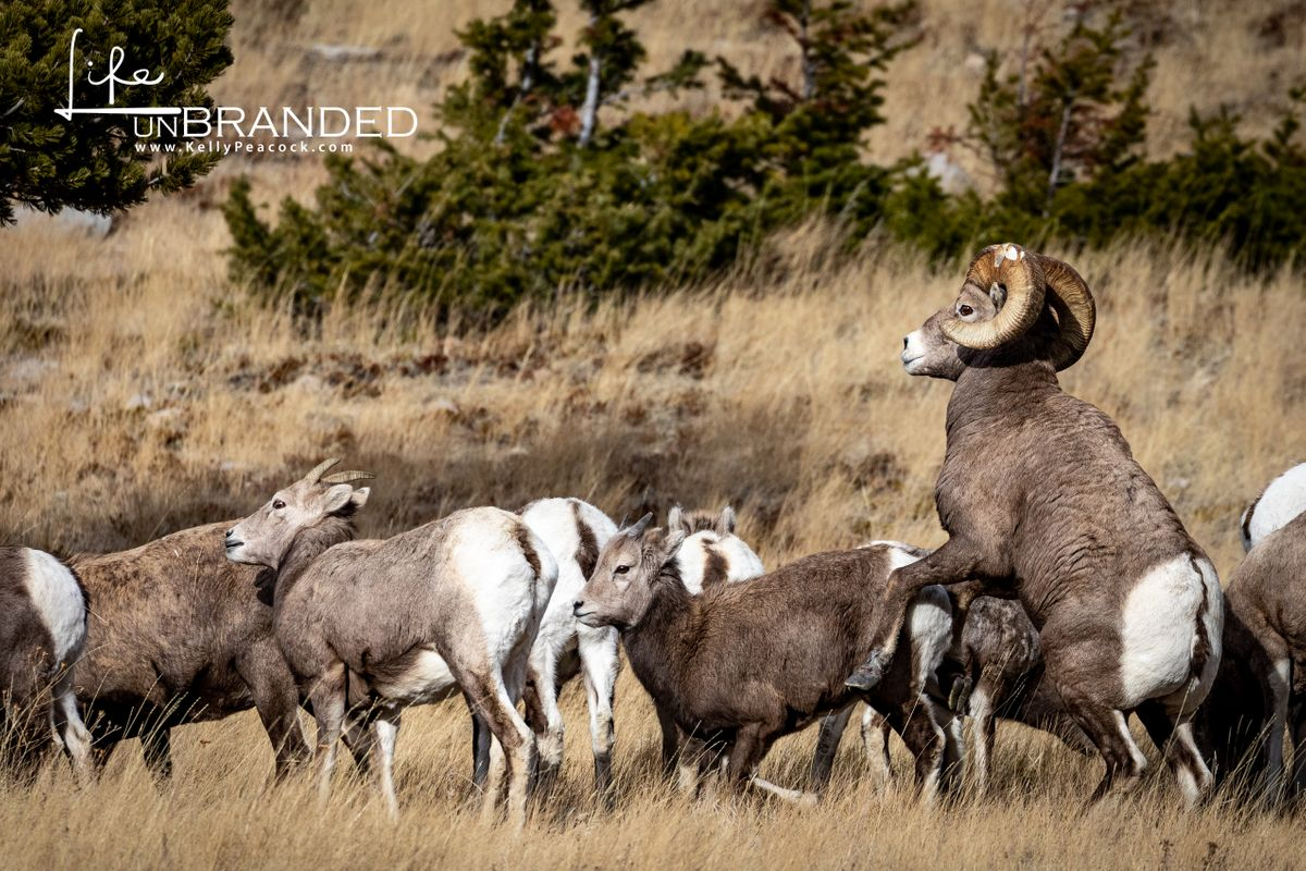 Bighorn Sheep In Rut