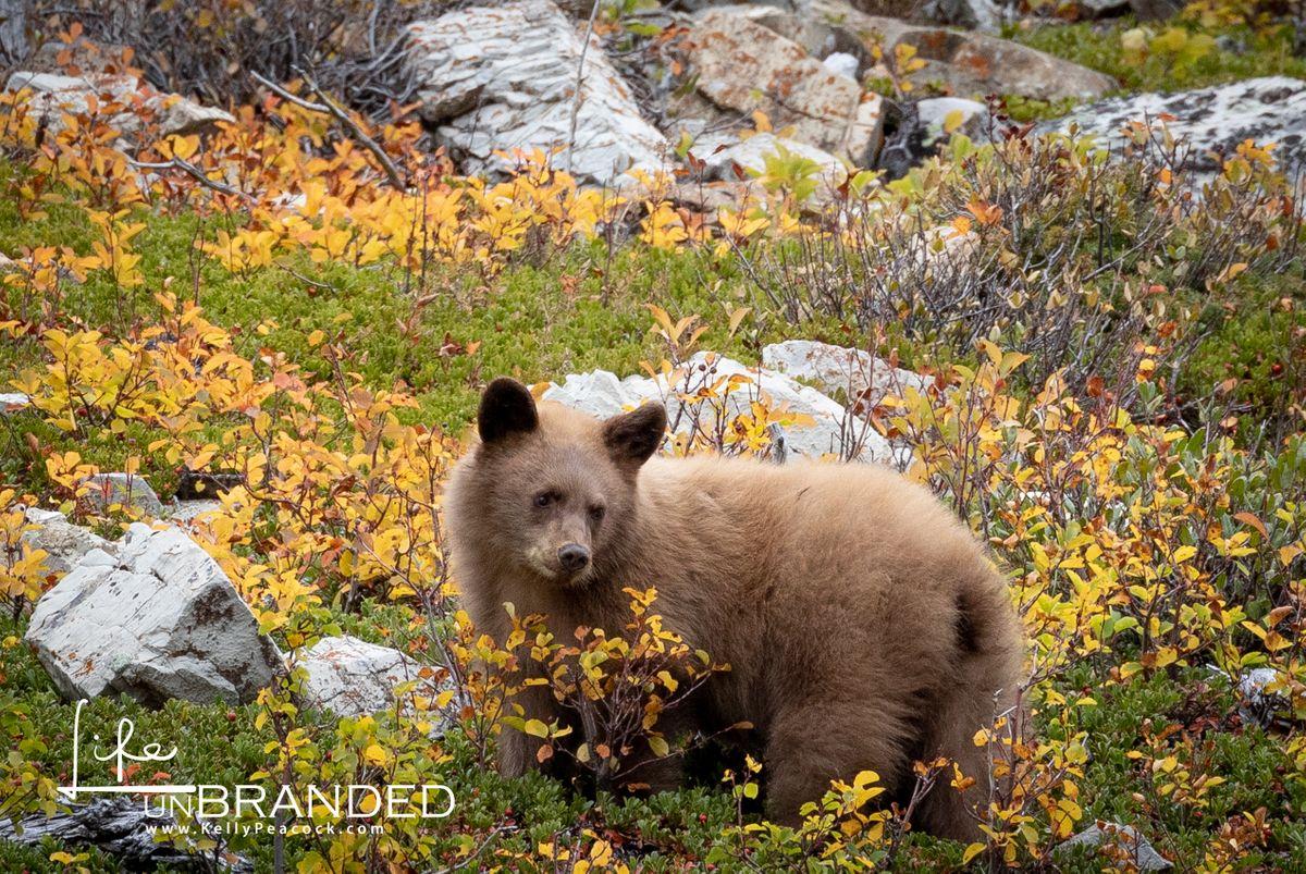 'Cinnamon' Black Bear Cub