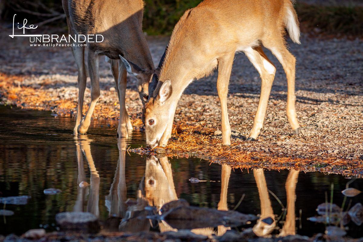 Whitetail Deer Yearlings