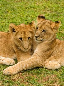 Brown lion cubs cuddling