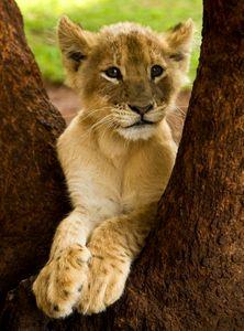 Brown lion cub portrait