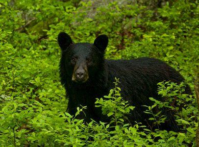 black bear, Pocono's, Pennsylvania
