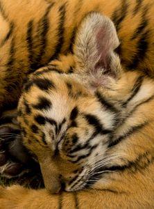 Bengal tiger cub sleeping