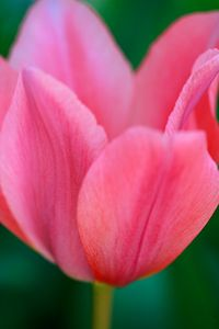 6_0_30_1flo_tulip_9456.jpg