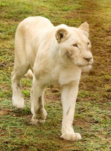Young adult female white lion