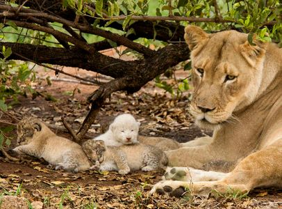 Brown lion with brown lion and white lion cubs