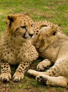 Brown lion cuddling with cheetah
