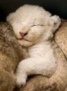 White lion cub surrounded by brown lion cub siblings