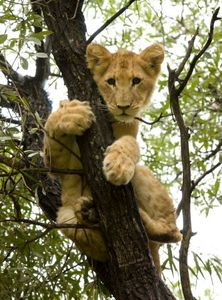Brown lion cub up a tree