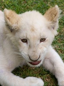 White lion cub snarling
