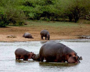 14_0_48_1r2007_sa_hippos__58_.jpg