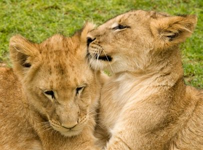 Lion cub ear cleaning!