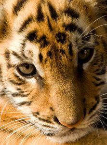 Bengal tiger cub face