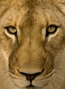Lion King!