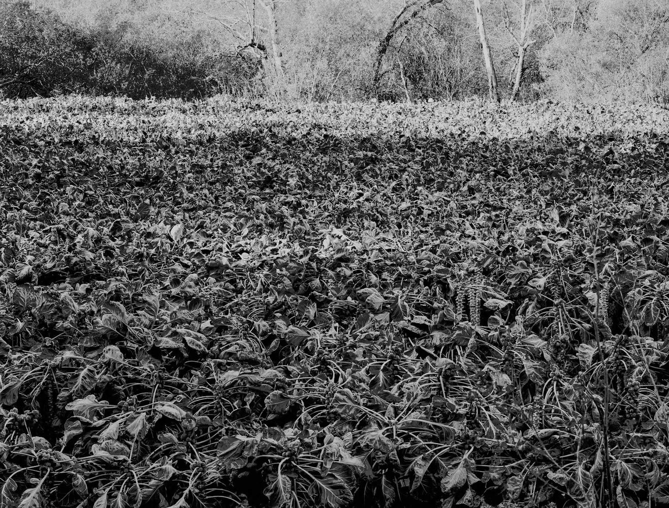 Brussel Sprout Field 1979