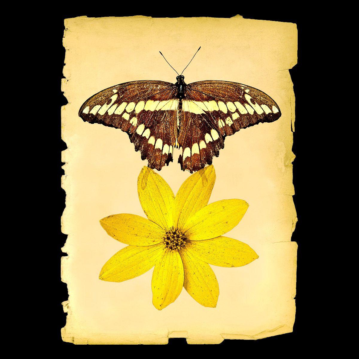 1giant_swallowtail