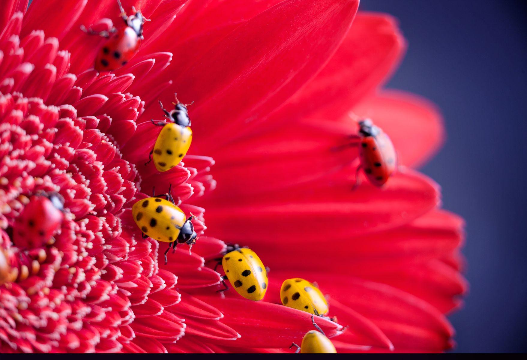1ladybugs.jpg