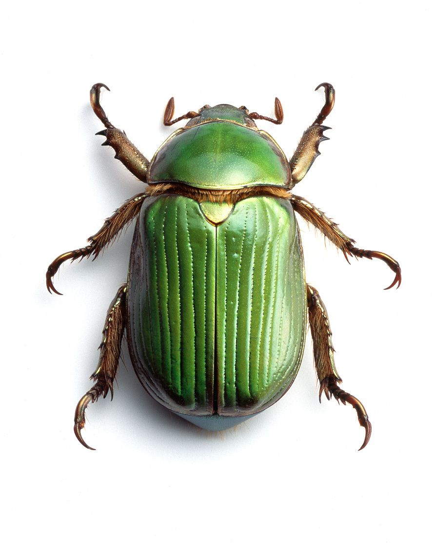 1green_beetle