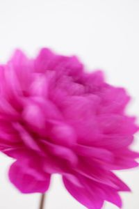 Dahlia Flower (with motion)