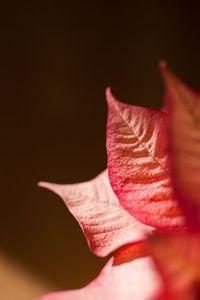 Poinsettia Leaves, Sunnyvale, California