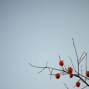 Persimmon Tree, Sonoma County, California