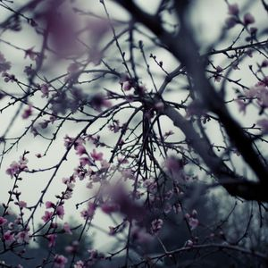Peach Blossoms, Sunnyvale, California