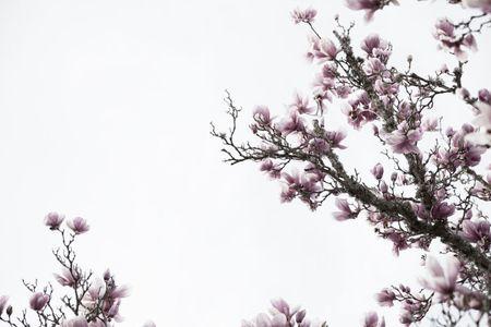 Magnolia Blossoms, Sunnyvale, California