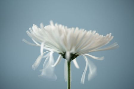 Dying Chrysanthemum Flower (with motion)